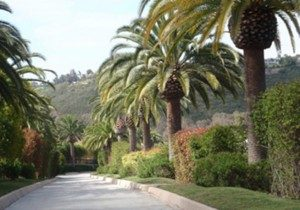 Palm Tree Pruning San Diego